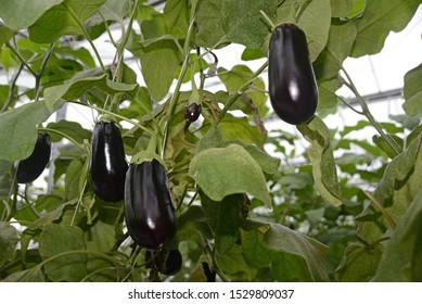 Fruit almost ready to harvest in a commercial tunnelhouse growing eggplant, aubergine, or brinjal (Solanum melongena) for the wholesale market.