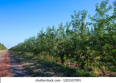 Fruit apple orchard with ripe apples on apple trees branches. Infinite perspective endless rows of plants in a large agricultural farm.