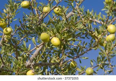 Fruit of the Argan tree (Argania spinosa) in Morocco