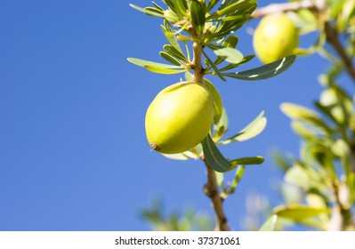 Fruit of the Argan tree (Argania spinosa) in Morocco