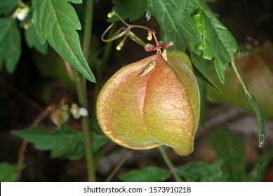 The fruit of the balloon vine (Cardiospermum halicacabum), also known as Balloon Vine, Love-in-a-puff, heart pea and heartseed is a useful medicinal plant that grows in dry regions in Peninsular India