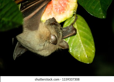 A fruit bat hanging on to a fruit eating it. The animal travels at night finding fruits to eat and they find there way around using echolocation.