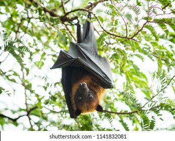 fruit bat hanging on tree in forest. Lyle's flying fox. - Shutterstock ID 1141832081