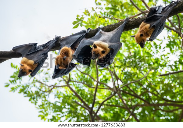fruit bat hanging on tree in forest