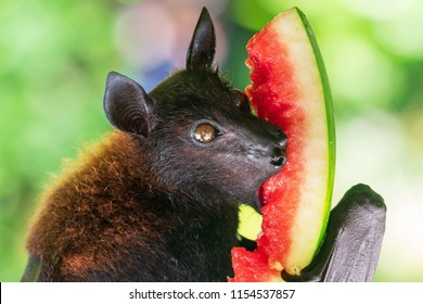 Fruit bat (Megachiroptera) eating watermelon