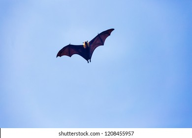 Fruit bat at the tropical islands of the Seychelles