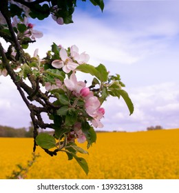 Fruit blossom in front of rape field in selective focus