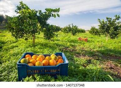 Fruit box full of oranges during harvest season in Sicily