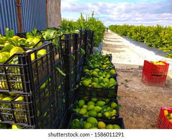 Fruit boxes full of lemon. Workers picking lemons and carrying the basket to collect the lemon into the box Murcia, Spain, 2019
