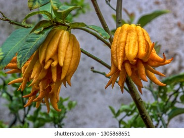 Fruit of Buddha's Hand;