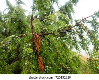 Fruit bushes of juniper in the woods