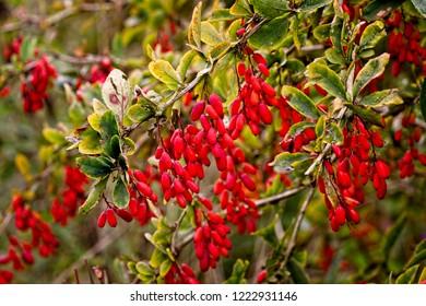 Fruit of the Common Barberry (Berberis vulgaris), Gloucestershire, England, UK.