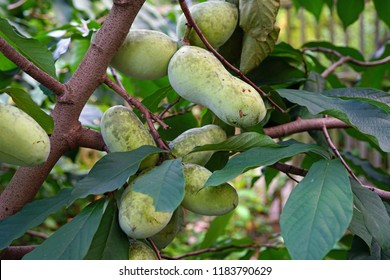 Fruit of the common pawpaw (asimina triloba) growing on a tree