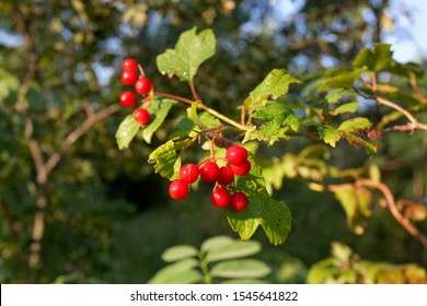 The fruit of Crataegus, commonly called hawthorn, quickthorn thornapple, May-tree,whitethorn, or hawberry,