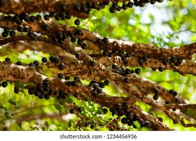 Fruit. Exotic. Jabuticaba in the tree ready to be harvested. Jaboticaba is the native Brazilian grape tree. Plinia cauliflora.