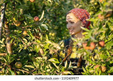 Fruit farmer woman inspecting her apple orchard making sure the fruit is ready for harvest