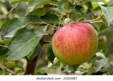 Fruit of a Fiesta apple (Malus domestica) ripens on the tree