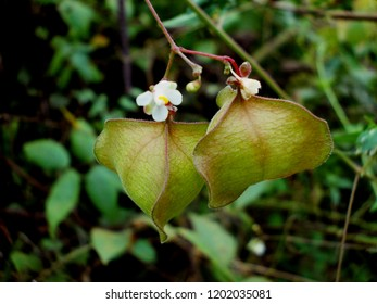 fruit and flower of cardiospermum halicacabum, modified calyx of plant for seed dispersal