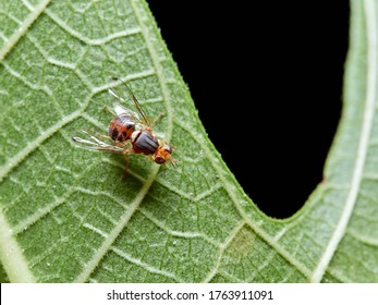 Fruit fly, Bactrocera oleae. One of the most important olive pests