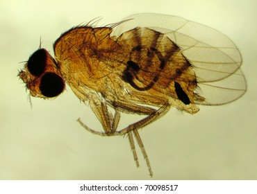 Fruit fly (Drosophila melanogaster). Magnification 40X