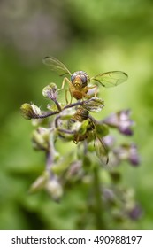 The fruit fly sip sweet of the basil flowers