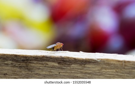 Fruit fly sitting on a crate of grapes