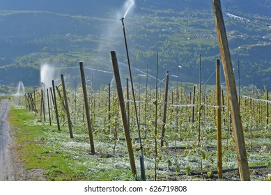 Fruit growers protect their crop from frost damage by spraying water over the trees, which forms a protective coating of ice over the fruit