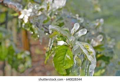 Fruit growers spray water over fruit trees in freezing conditions, to protect the fruit from ice damage