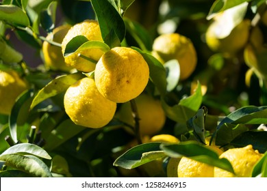 fruit of Japanese citron - Citrus junos - in Fukuoka city, JAPAN.