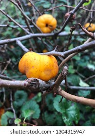 Fruit of Japanese quince (Chaenomeles hybrids) . Chaenomeles speciosa (commonly known as flowering quince, Chinese quince, or Japanese quince). Family Rosaceae.