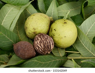 fruit and leaf of black walnut tree