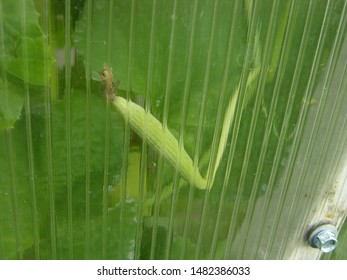 fruit and leaves of the white Armenian cucumber in the morning dew (different size and shape), pressed against the wall of polycarbonate. Different refraction and reflection of light in polycarbonate.