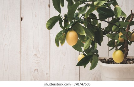 the fruit of the lemon on the branch in a pot against white boards