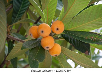 Fruit of loquat - Eriobotrya japonica -  has become in Fukuoka city, JAPAN.
