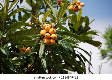 Fruit of loquat - Eriobotrya japonica -  has become in Saga prefecture, JAPAN.