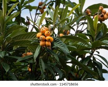 Fruit of loquat - Eriobotrya japonica -  has become in Saga prefecture, JAPAN.