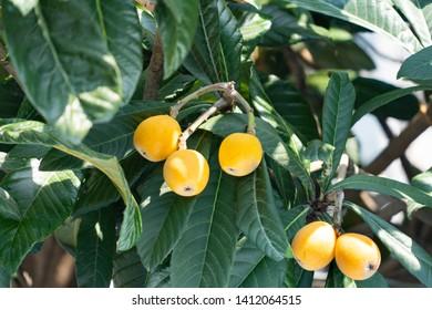 Fruit of loquat - Eriobotrya japonica - has become in Fukuoka city, JAPAN.