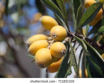 Fruit of loquat-Eriobotrya japonica-  has become in Fukuoka city, JAPAN.