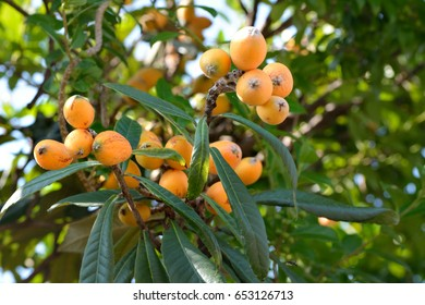 Fruit of loquat-Eriobotrya japonica-  has becomein Nagasaki prefecture, JAPAN. It is in May.