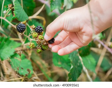 A fruit lover picking berry fruits from the tree plant leaving the unripe ones to mature.