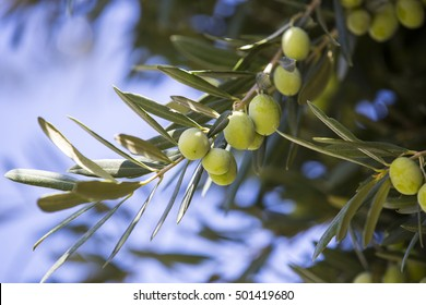 the fruit of the olive tree in autumn garden