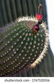 Fruit on a saguaro cactus