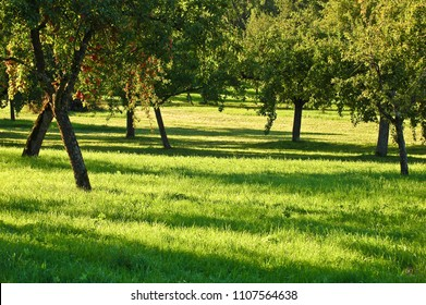 Fruit orchard with apple trees on sunny day in late summer; Fruit cultivation; Apple trees with ripe fruits on a meadow