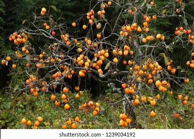 Fruit of persimmon