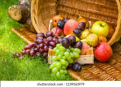 Fruit picking at the end of summer - apples, pears, plums and grapes