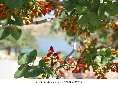 Fruit of pistachio tree and fresh pistachios