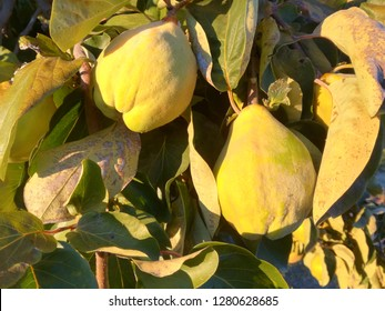 The fruit is ripe in the fruit tree. Contrast of natural colors of green and yellow. Food in perfect conditions to be picked. Quince.