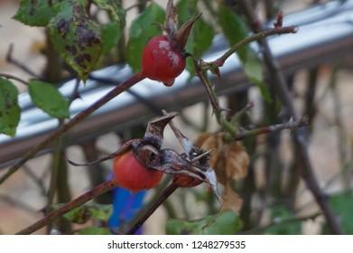 Fruit of rose