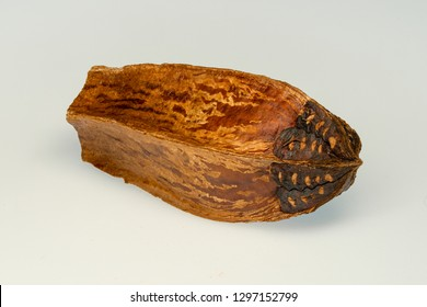 Fruit and Seed of Swietenia mahagoni, which is commonly known as American mahogany, small-leaved mahogany. It is the species from which the original mahogany wood was produced.White background.