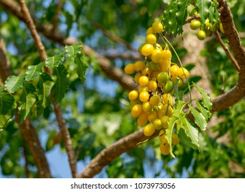 Fruit of Siamese Neem tree.A popular medicinal herb that been part of traditional remedies that date back almost 5000 years.